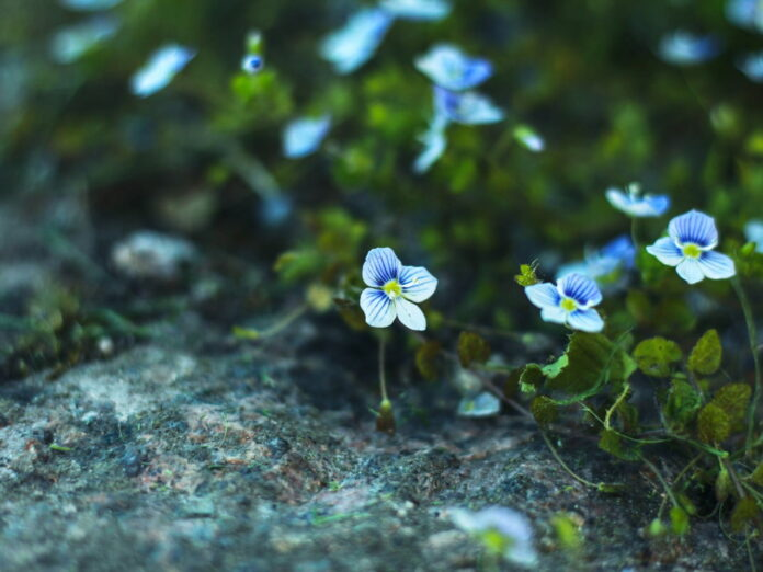 forget-me-nots. photo of flowers at coastal maine botanical gardens